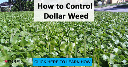 A lawn infested with Dollar weed