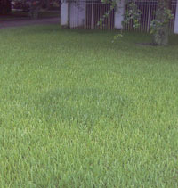 Fairy Ring in a St Augustine lawn