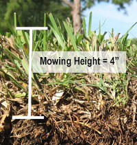 Cut away showing the mowing height of St Augustine grass