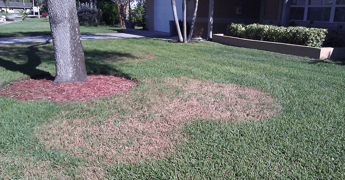Brown Patch in St Augustine Turf