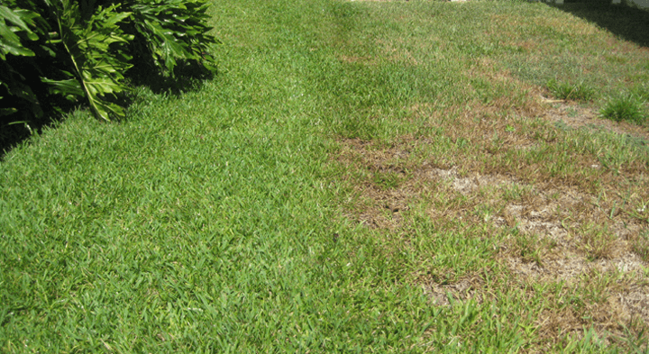 rotected vs UnProtected St Augustine Lawn
