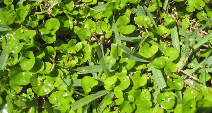 Dichondra Growing In A St Agustine Lawn