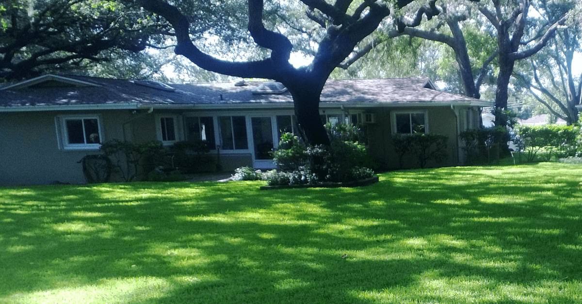 St Augustine Lawn Under Shade - No Fungus