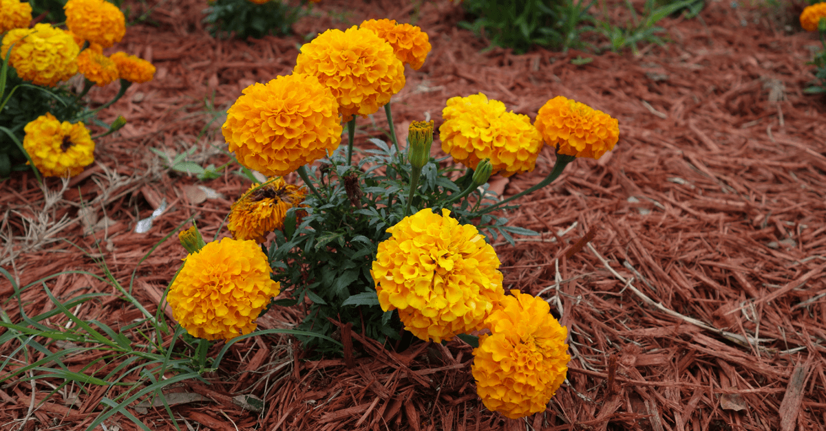 Marigolds Produce a Natural Insecticide