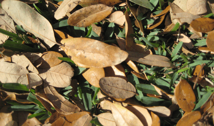 "Oaks Leaves have a durable ""exoskelton"" that retains the leaf shape"