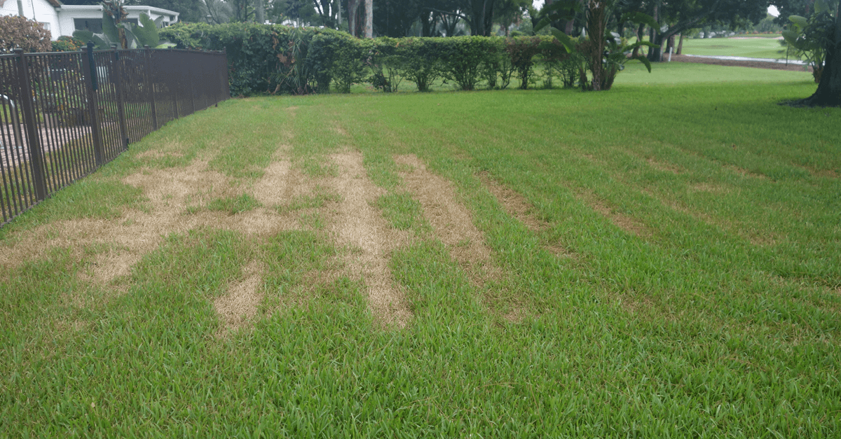 Sun Scald on St Augustine grass Caused by Mowers