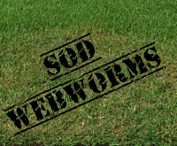 Sod Webworms are Active in Pinellas County and Causing Damage to St Augustine Grass Lawns