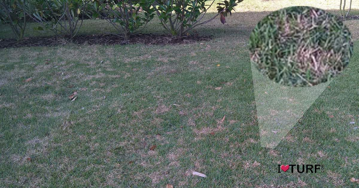 Dollar spot disease in a St Augustine lawn with close up of dollar spot