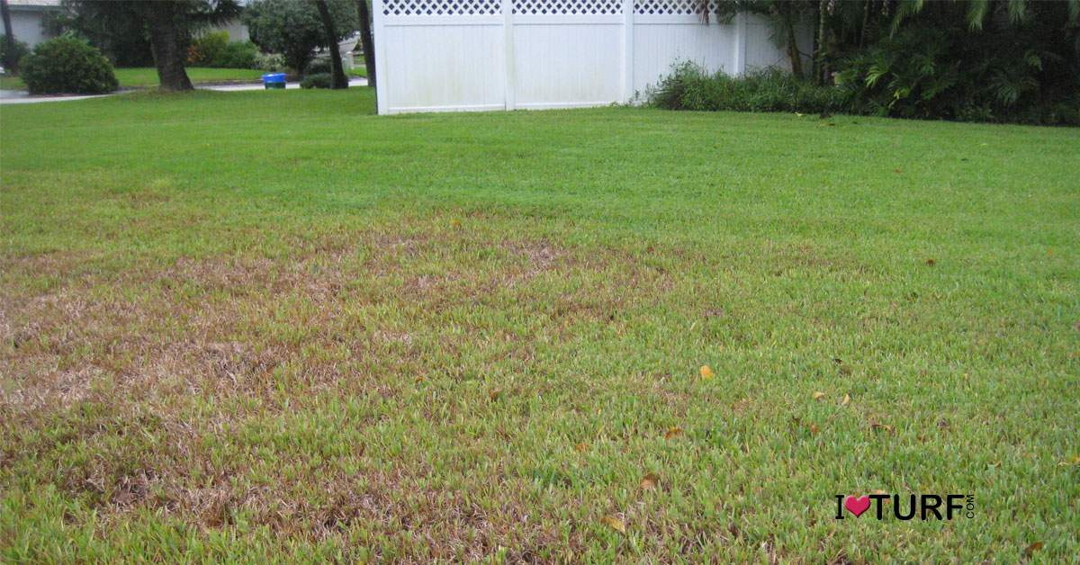 St Augustine grass lawn damaged by grubs