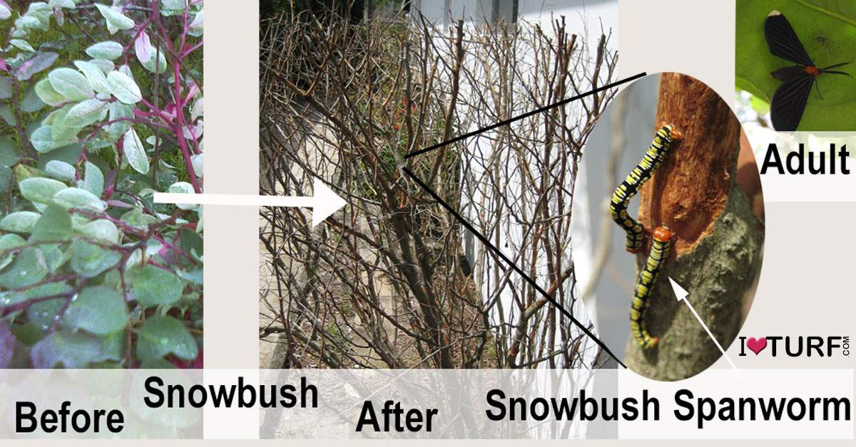 Snowbush with Snowbush Spanworm before and after damage