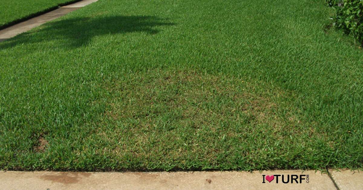 Sod webworm damage done to a St Augustine lawn