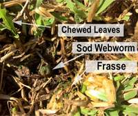 Close up of sod webworm damage with sod webworm, frasse and chewed leaves