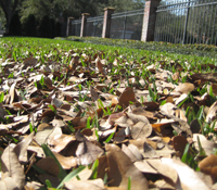 Oak Leaves Do Not Kill St Augustine Lawns – Oak Leaves are Good for the Lawn