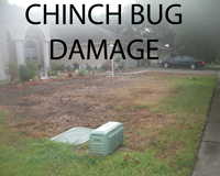 Chinch Bugs: What are Chinch Bugs How to Spot Chinch Bugs and How to Control Chinch Bugs