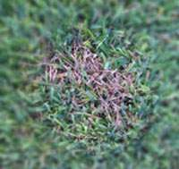 Dollar Spot Disease Forms Straw Colored Dead Spots in St Augustine Lawns