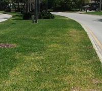 Yellow Spots and Streaks in St Augustine Turf Grass Lawn is Caused By Lack of Iron